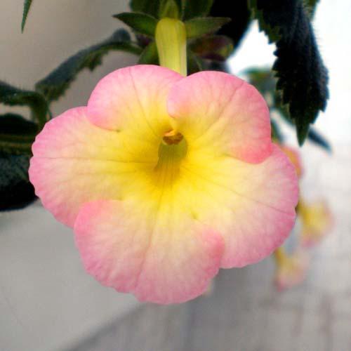 ахименес strawberry lemon фото