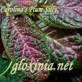 Эписция Carolina's Plum Silly