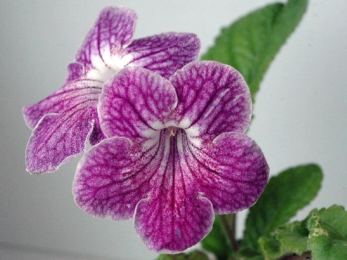 Цветы стрепсы