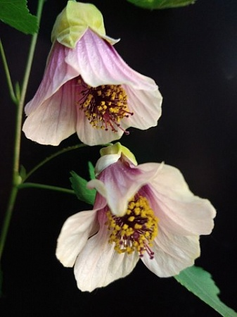 ABUTILON HUNTINGTON PINK
