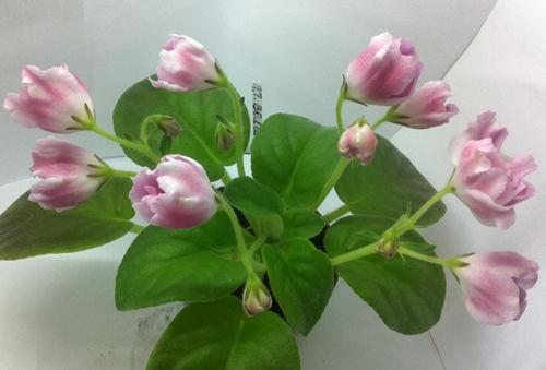 Фиалка волшебный тюльпан фото