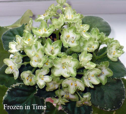 фиалка frozen in time фото и описание
