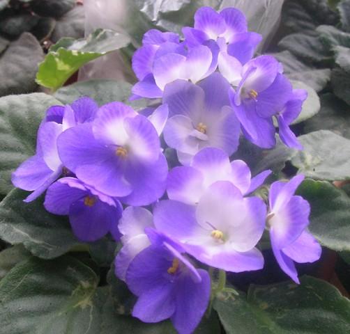 Valeska blue