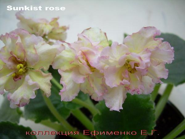 Санкиссед розе фиалка