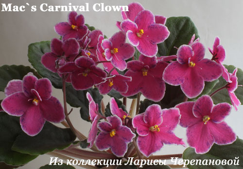 Фиалка Mac's Carnival Clown