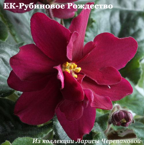 фиалка ек-рубиновое рождество фото