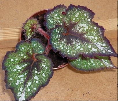 декоративно-лиственных бегоний выращивание