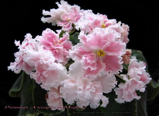 Крупные полумахровые и махровые нежно-розовые цветы с размытым центром и белой кружевной каймой.  Пестролистник.
