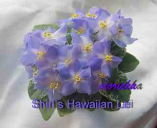 Фиалка Shirl`s Hawaiian Lei
