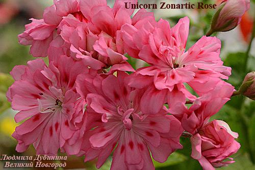 unicorn zonartic rose пеларгония фото