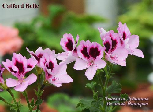 catford belle пеларгония
