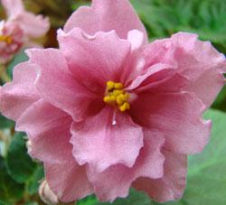 Ангельский цветок