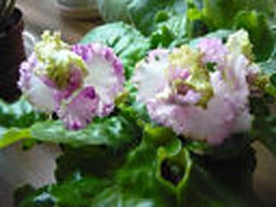 Фиалка ле зеленая роза