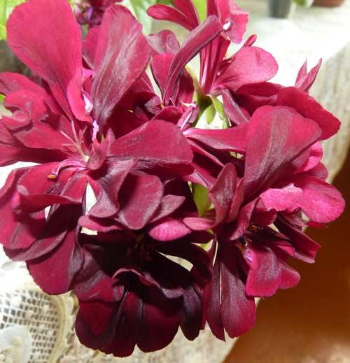 Pelargonium ivy-leaf (пеларгония плющелистная) / pac mexica tomcat