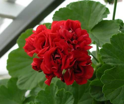 пеларгония фото red rambler