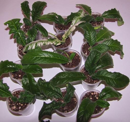 Стрептокарпус выращивание деток 16