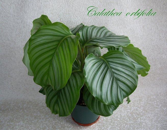 calathea orbifolia 39 djemen 39. Black Bedroom Furniture Sets. Home Design Ideas