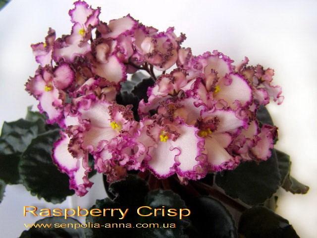 raspberry crisp фиалка фото