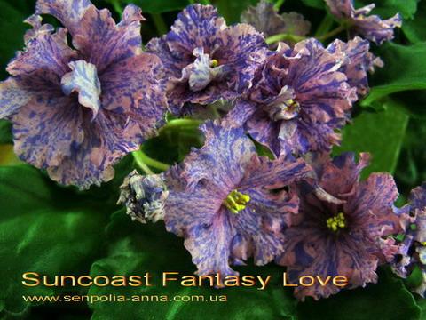 фиалка suncoast fantasy love фото