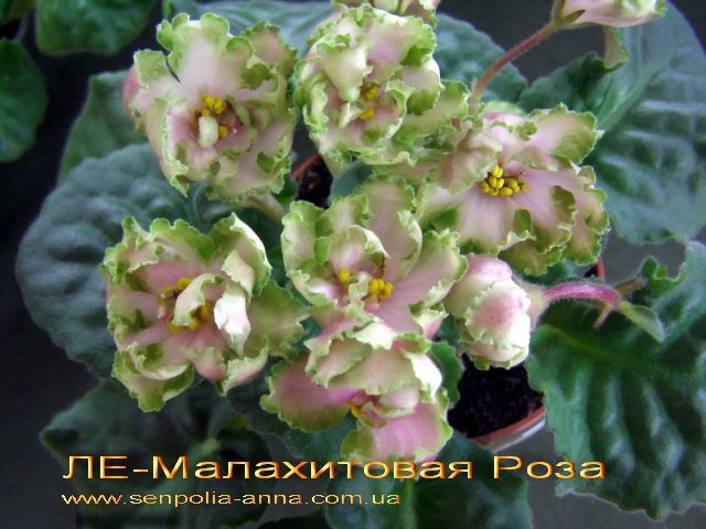 Фиалка фото и описание малахитовая роза
