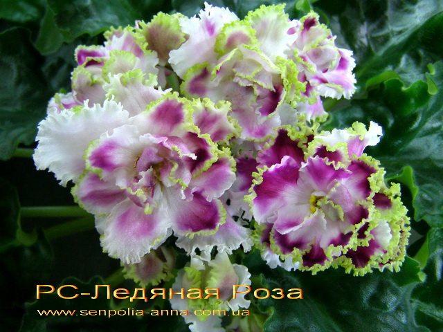 Рс ледяная роза фиалка фото и описание