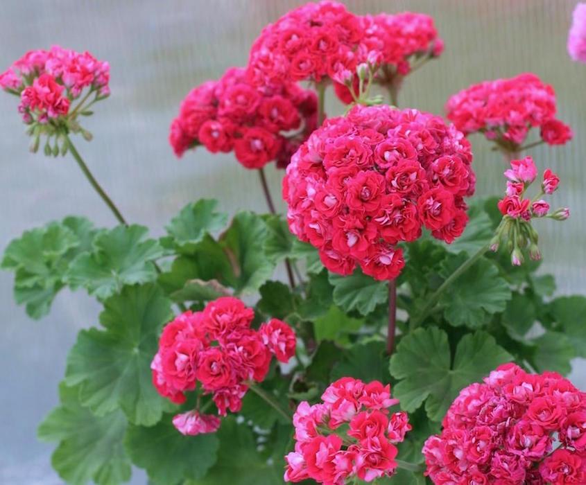 Пеларгония розебуд