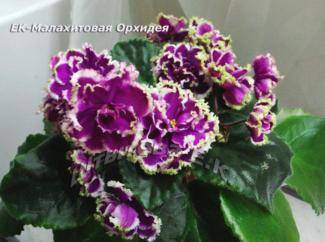 Ек-малахитовая орхидея фиалка фото
