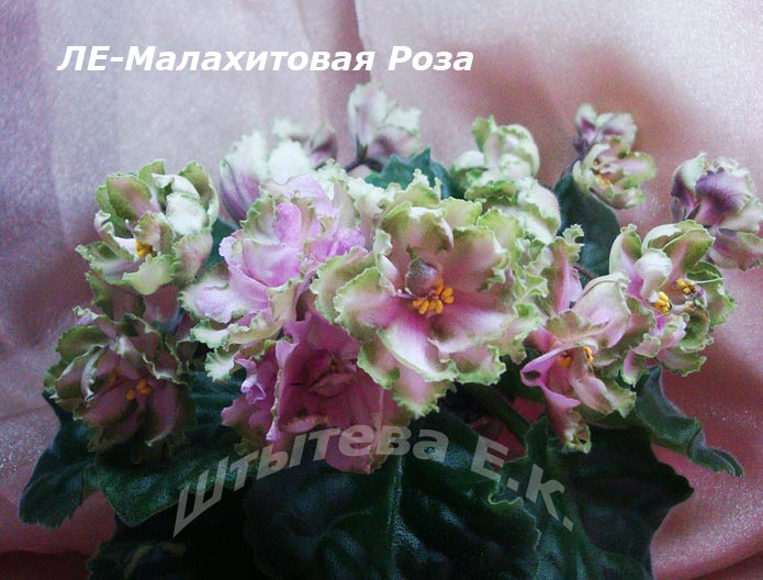 фото фиалка малахитовая роза