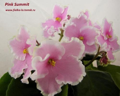 фиалка фото pink summit