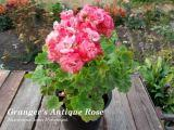 Granger's Antique Rose
