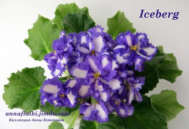 фото и описание фиалки iceberg