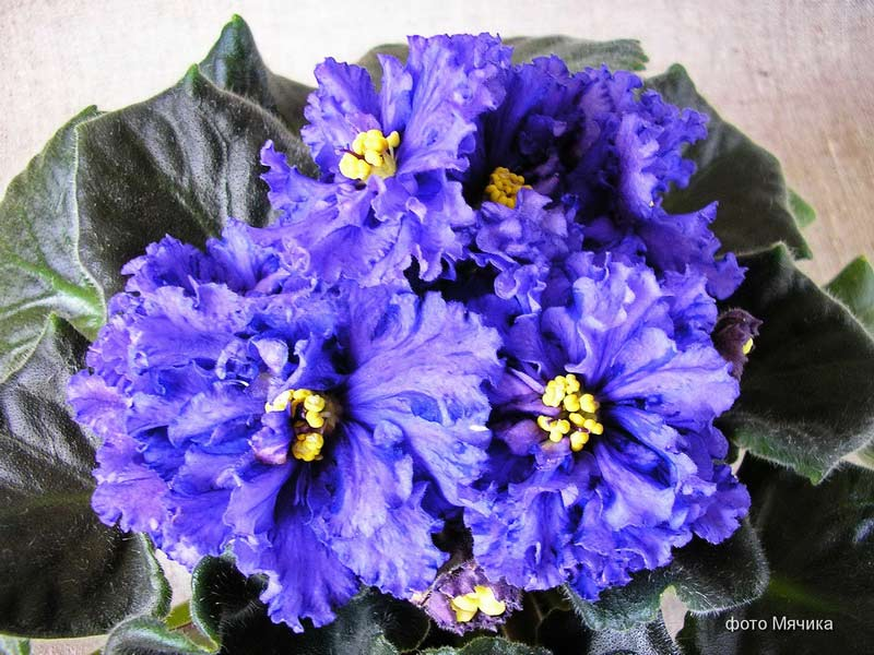 Цветочный Рай - фиалки, стрептокарпусы от Алены Кошкаровой ...