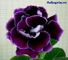 Глоксиния Midnight Purple