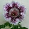 Глоксиния Ситец Пурпурный
