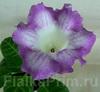 Глоксиния Фиолетовая с Прожилками
