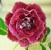 Глоксиния НТ-Шанхайская Роза