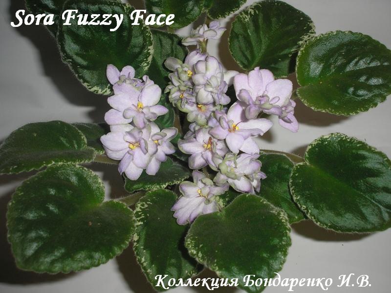 фиалка фото sora fuzzy face